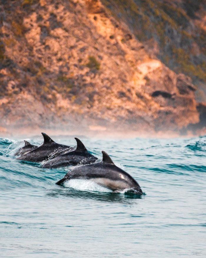 Delphine an der Steilküste, als Symbol für Lebenskunst